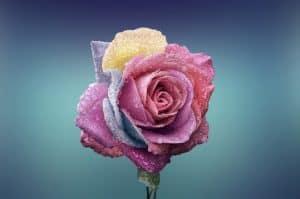 immer mehr menschen erkennen die Rose in sich