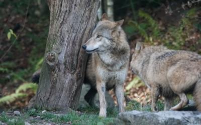 Das Tier in dir: Die Geschichte von den zwei Wölfen